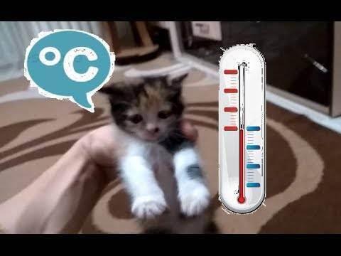 Нормальная температура у кошек и котят