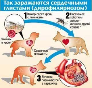 Если у кота глисты может ли заразиться человек: какие передаются