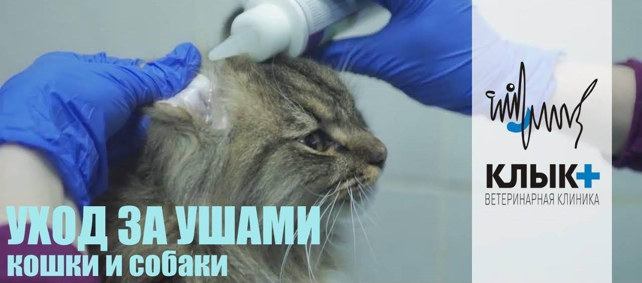 Как почистить котенку уши от ушного клеща. как чистить уши кошке правильно