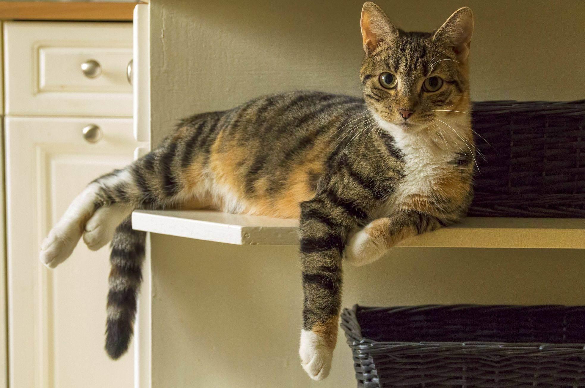 Котенок линяет – можно ли с этим бороться. шотландская кошка линяет: в чем причина и что делать