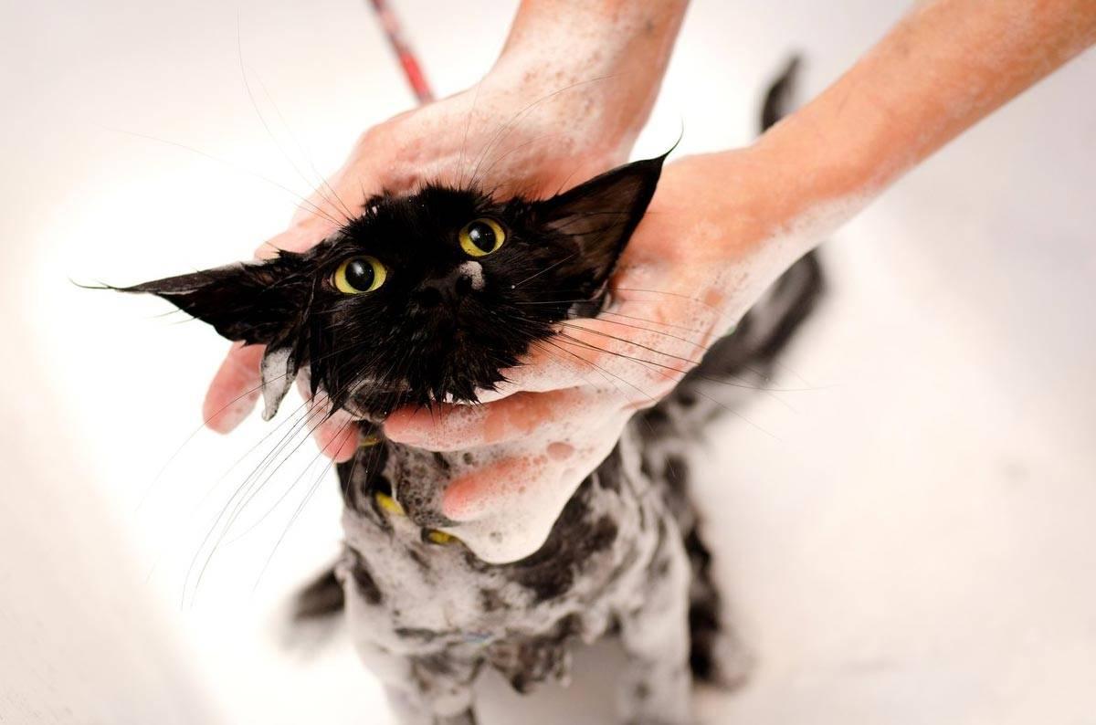 Моем кота и кошку - как часто нужно купать питомца, советы по выбору хорошего шампуня и подборе правильной температуры - purina-catchow.ru