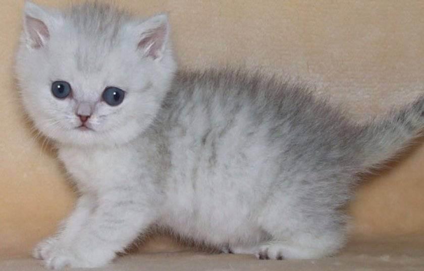 Характеристика британских котов — рост, вес, размер