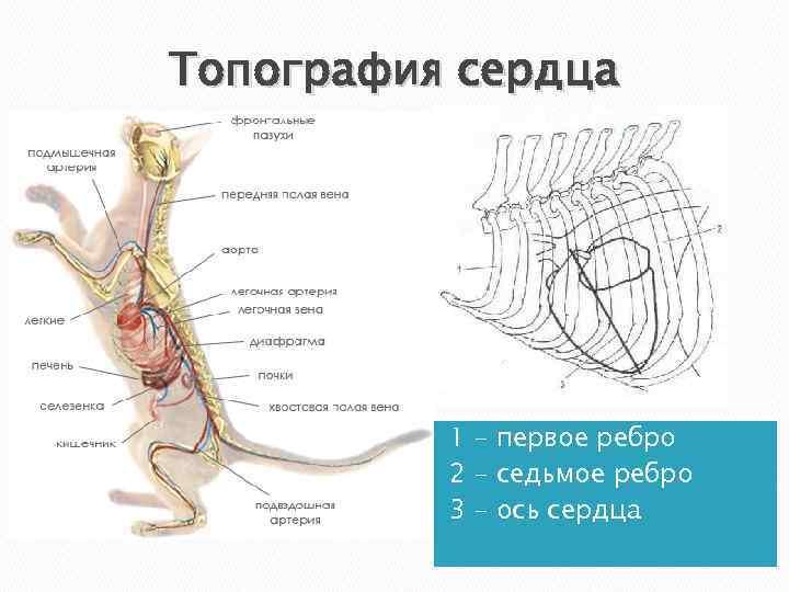 Кардиомиопатия у кошек - заболевания сердца