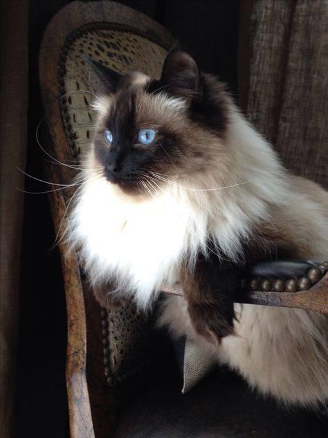 Породы кошек похожие на сиамских: фото и названия
