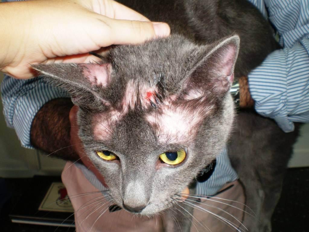 Лишай у кошек — основные признаки, симптомы, профилактика и лечение лишая у кошек (105 фото)