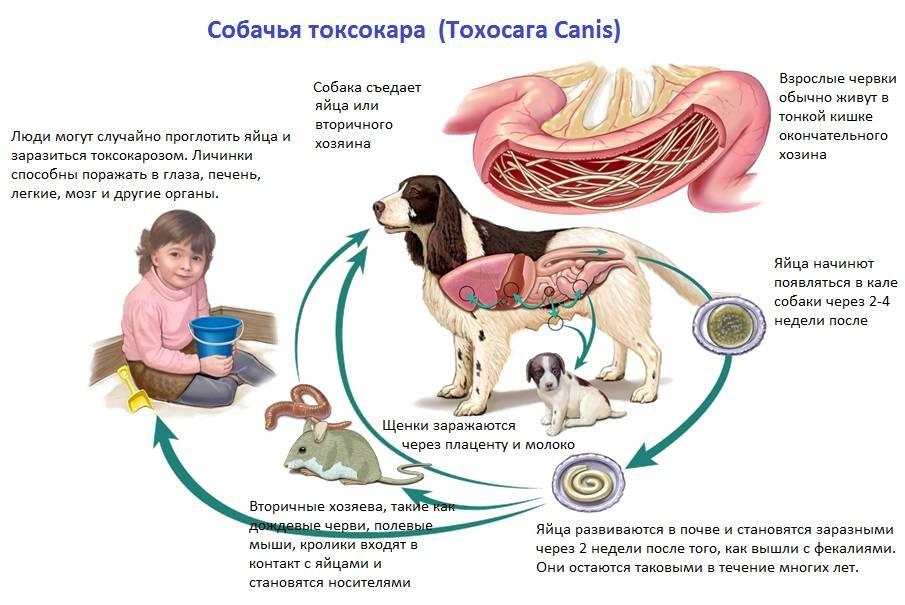 Аскариды у кошек: симптомы, пути заражения и лечение