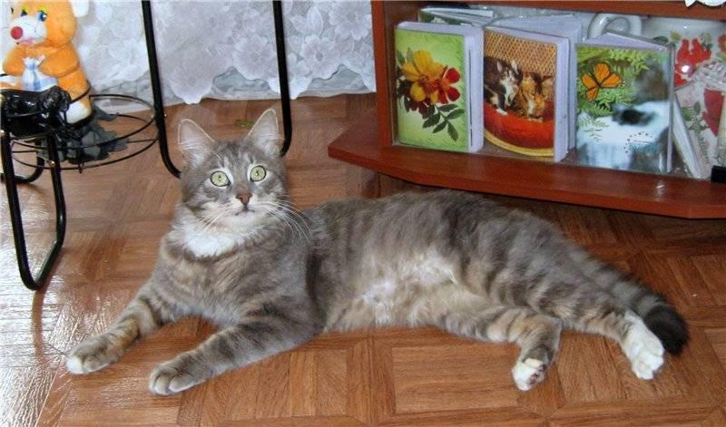 Окрас котов породы мейн кун: черный, серый, мраморный, голубой и редкие расцветки