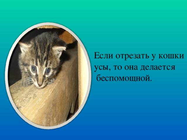 Что будет, если обрезать коту усы? зачем усы нужны коту