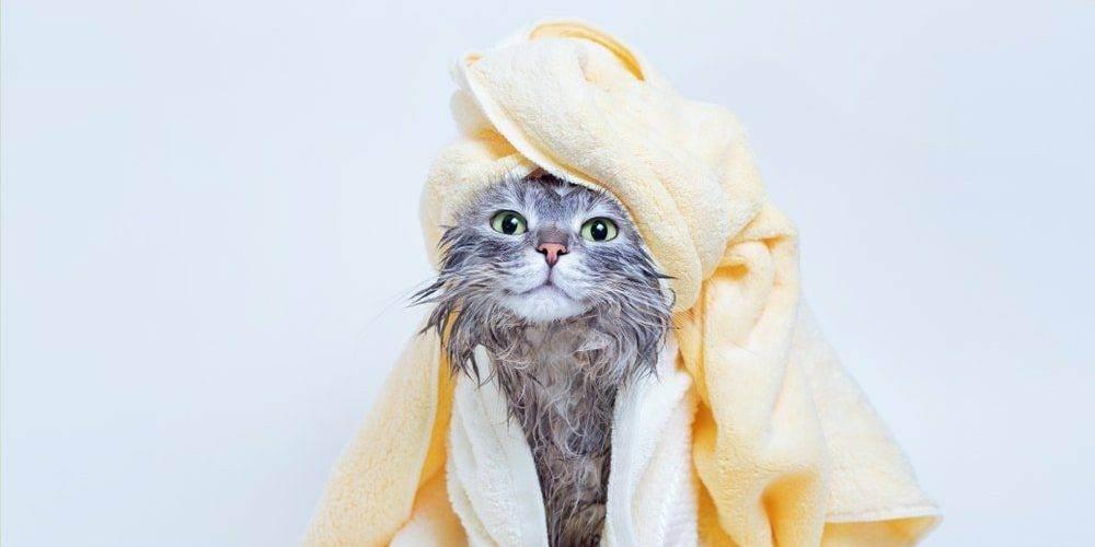 Как мыть кота. можно ли сушить кошку феном после купания. после мытья обязательно идёт сушка