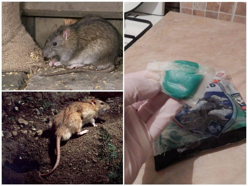 Кот съел отравленную мышь – симптомы, помощь, последствия. что делать, если кот съел отравленную мышь? доврачебная помощь кошке при отравлении ядом