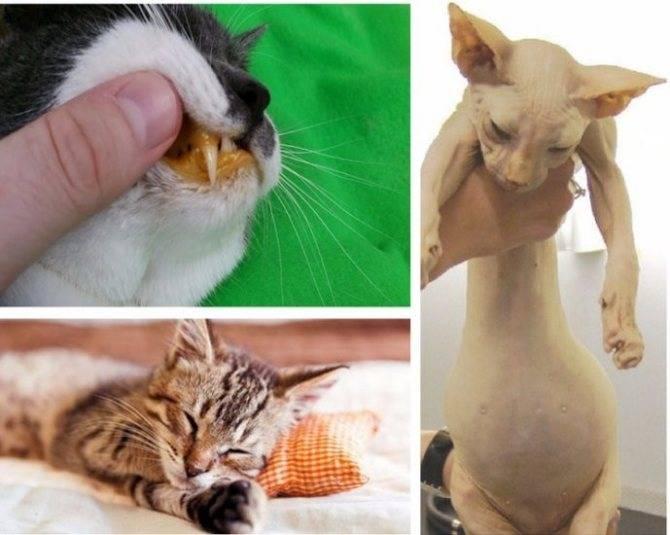 Отказ от еды у кошек: почему кот ничего не ест или у него плохой аппетит, в чем причина?
