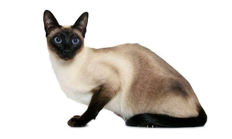 Коты сиамские сколько живут - кошки и собаки