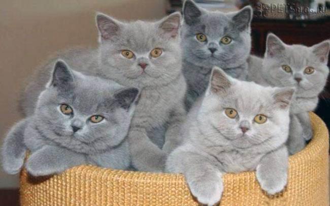 Британский короткошерстный кот— настоящий аристократ