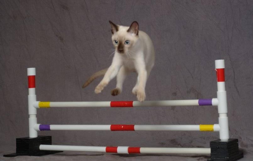 Как научить кота трюкам и командам — дрессировка кошек в домашних условиях | вокруг нас