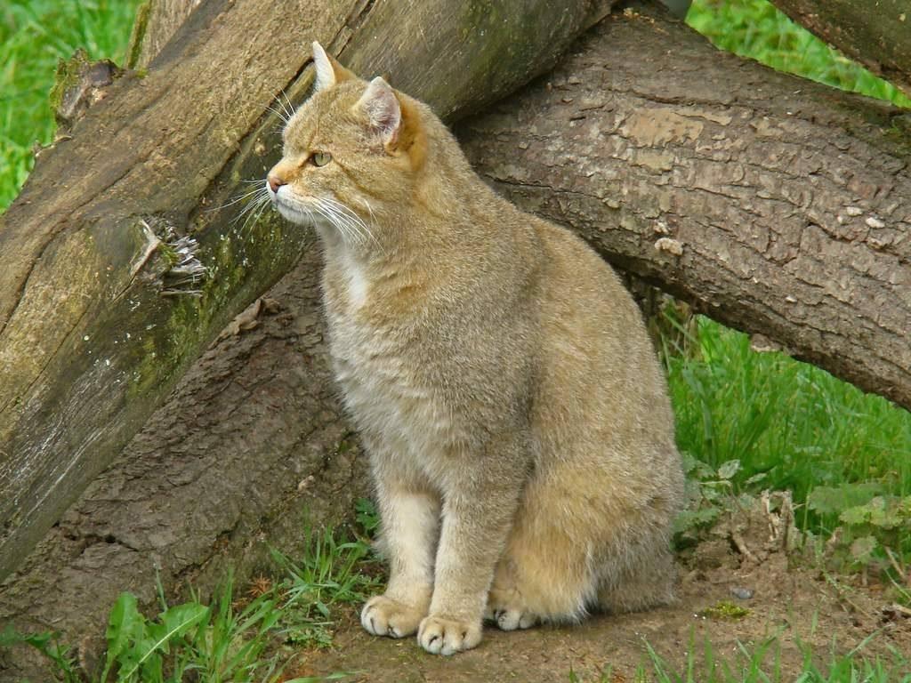 Кавказский лесной кот интересные факты. дикий лесной кот – это не рысь, а предок наших домашних кошек! | интересные факты