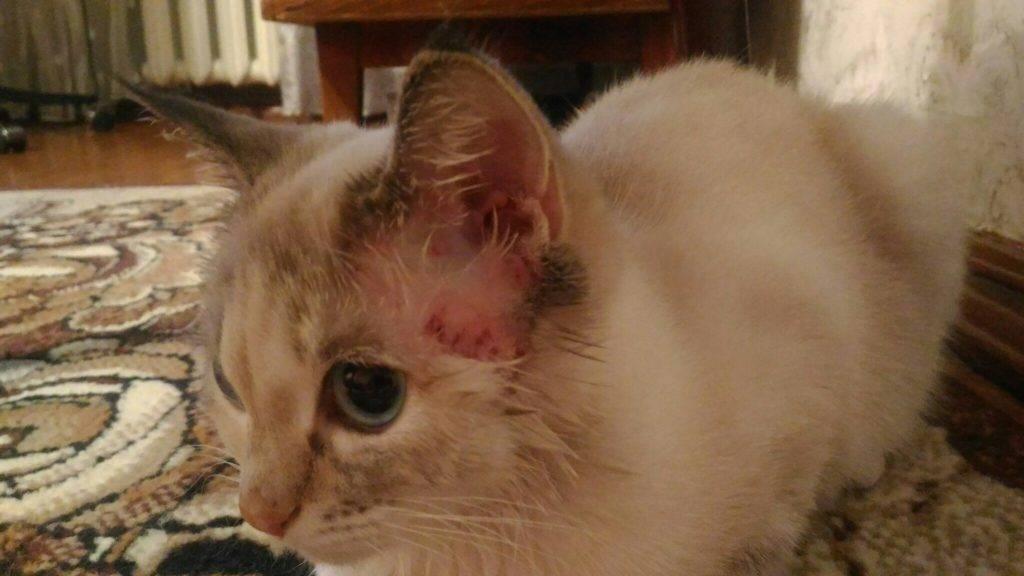 Воспаление уха у кошки: признаки, виды отита, лечение в домашних условиях, возможные осложнения, меры профилакткии