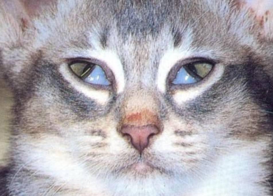 У кошки коричневые выделения из глаз: причины и лечение