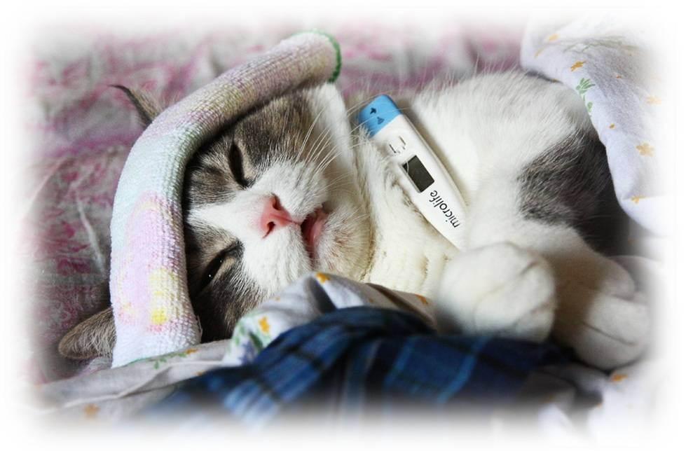 Температура тела у кошки и кота: какая считается нормальной для здорового взрослого питомца и котенка, как её измерить