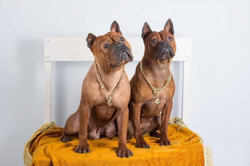 Китайская собака чунцин: внешность, поведение, уход