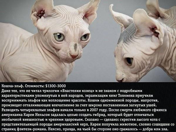 Особенности внешности, характера, разведения и содержания кошек породы эльф