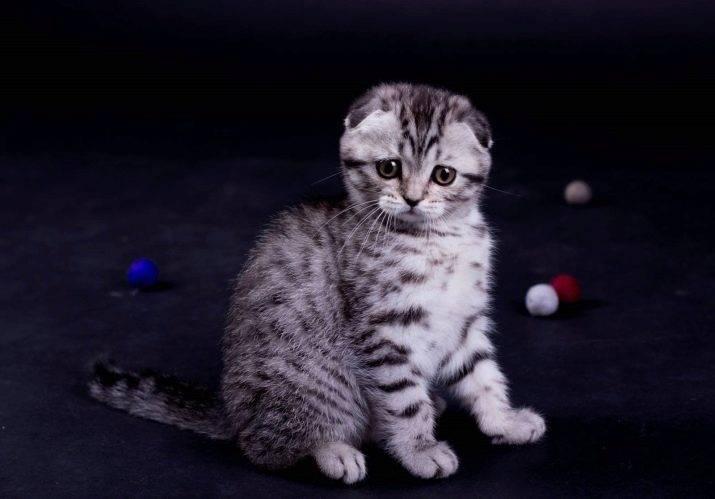 Имя для шотландского кота: прикольные и красивые мужские клички для котят-мальчиков шотландской породы
