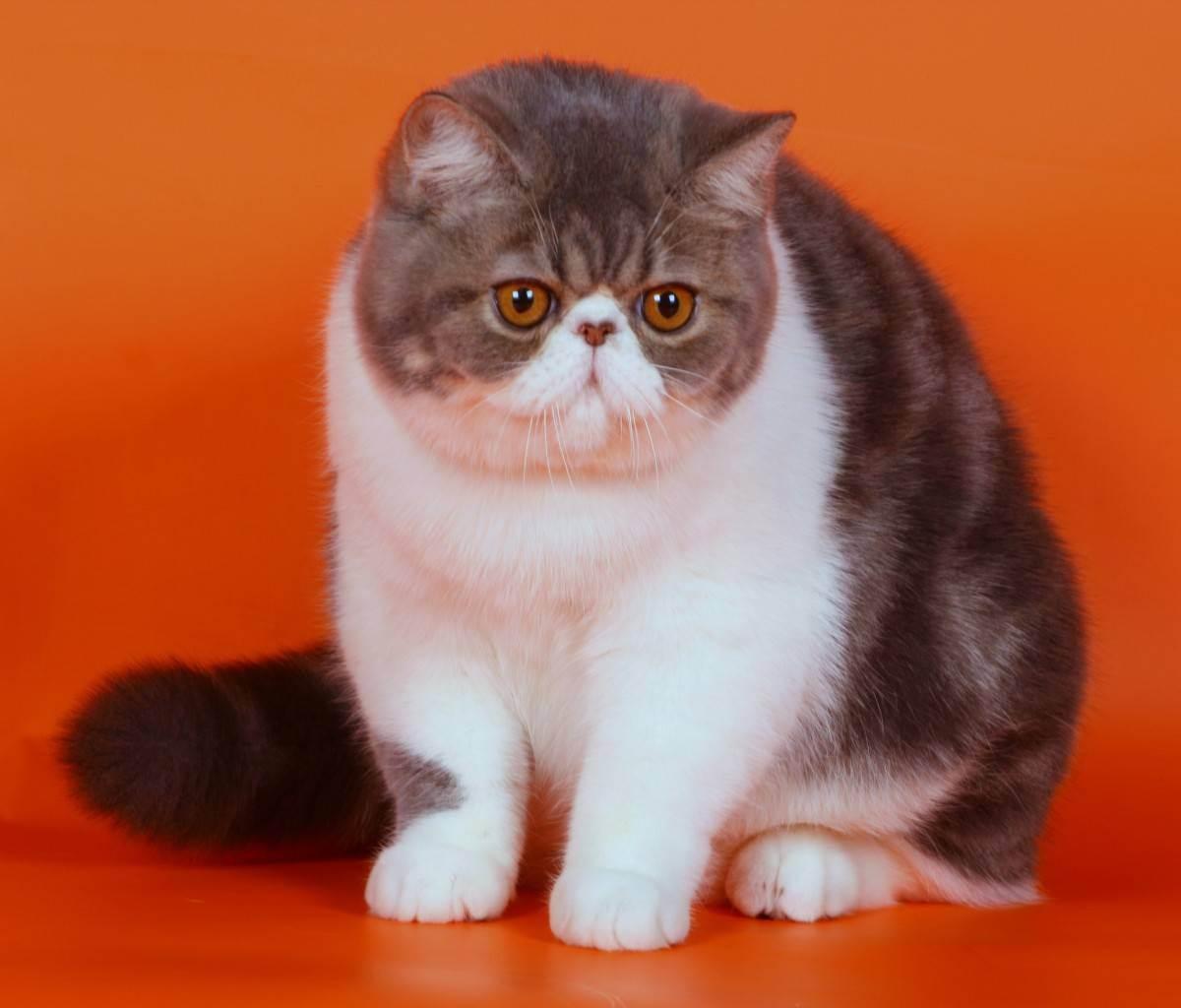 Короткошёрстная экзотическая кошка: описание, характеристика и фото кота породы экзот