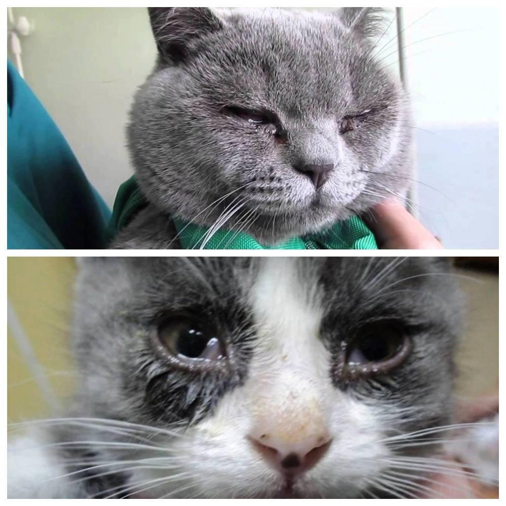 Кошка чихает - почему, что делать и как лечить: причины, лечение в домашних условиях,а также как быть, если у котенка часто слезятся глаза, текут сопли и он дрожит