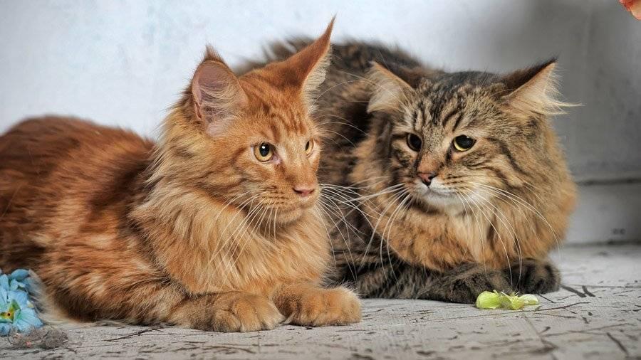 Сибирские кошки белого окраса: описание породы и особенности ухода