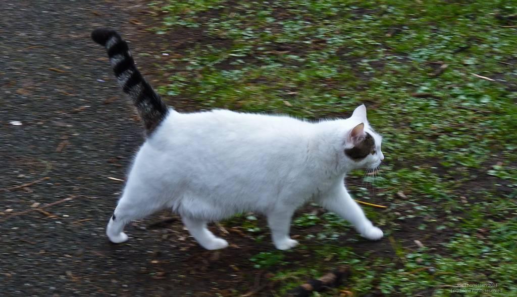 Что делать если у кошки висит хвост - zhivomag