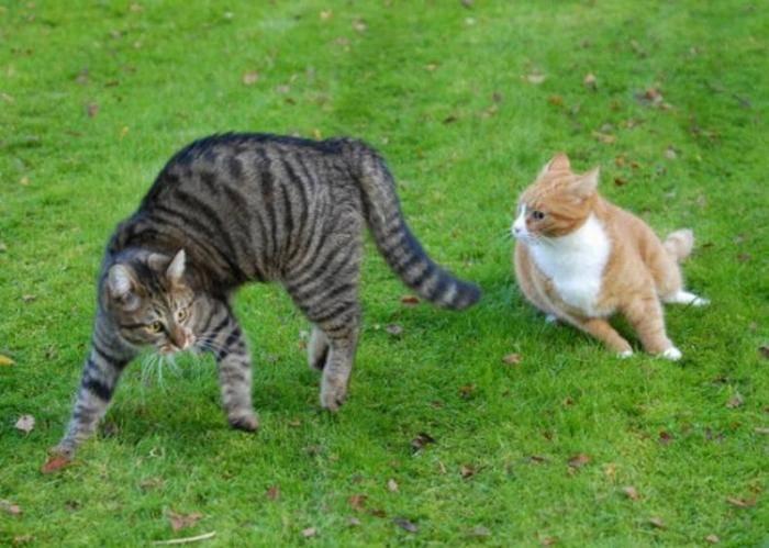 Причина драки котов между собой: варианты как отучить и разнять питомцев