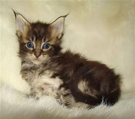 Котята мейн-куна (25 фото): до какого возраста они растут? как выглядят кошки в 1 и 2, 3 и 4, 5 и 6 месяцев?