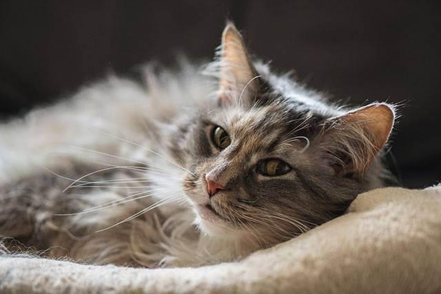 Панкреатит у кошек - симптомы, лечение, препараты, причины появления | наши лучшие друзья