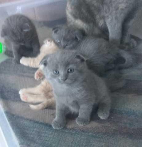 Вислоухость у котят: норма, фото, описание