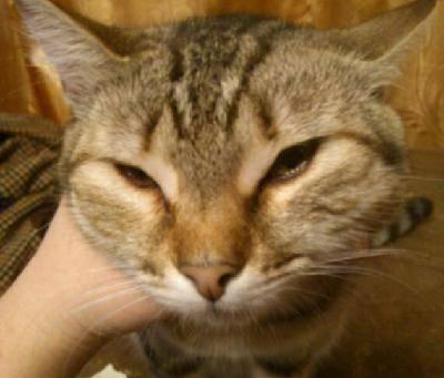 Из-за чего у кошки может раздуть щеку?