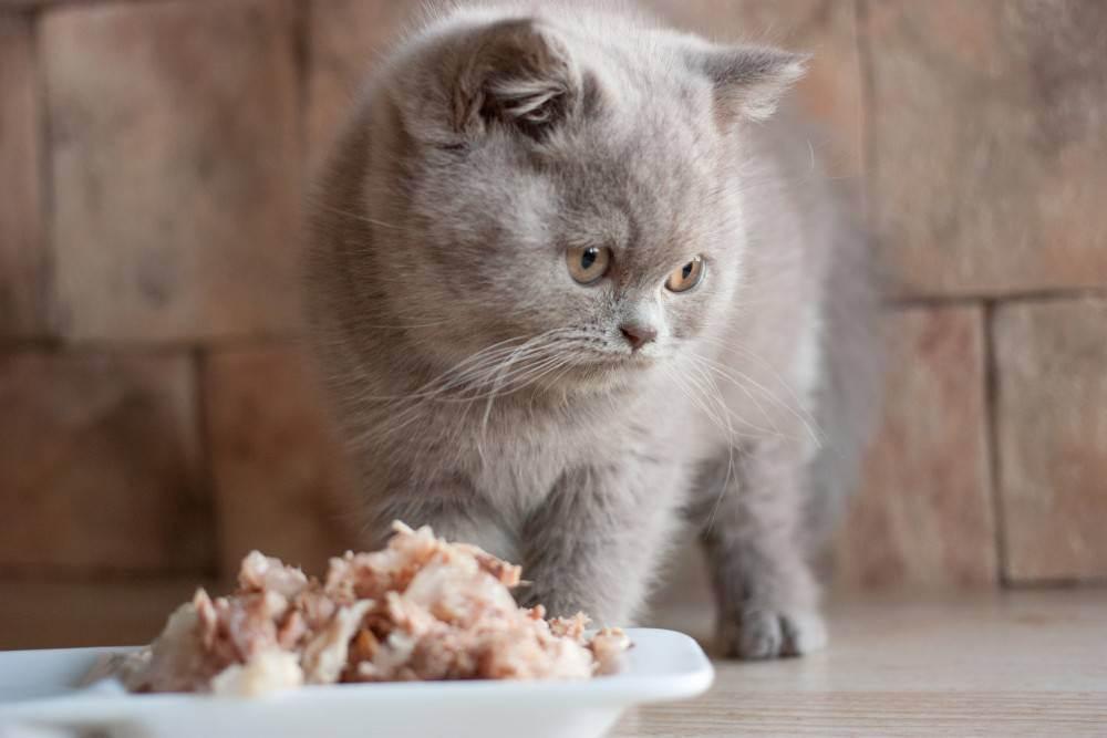 Чем кормить британского котенка 1-6 месяца: примерный рацион и советы по питанию