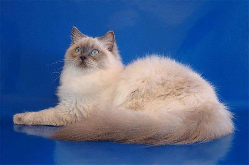 Священная бирманская кошка – пушистый голубоглазый страж буддистских храмов