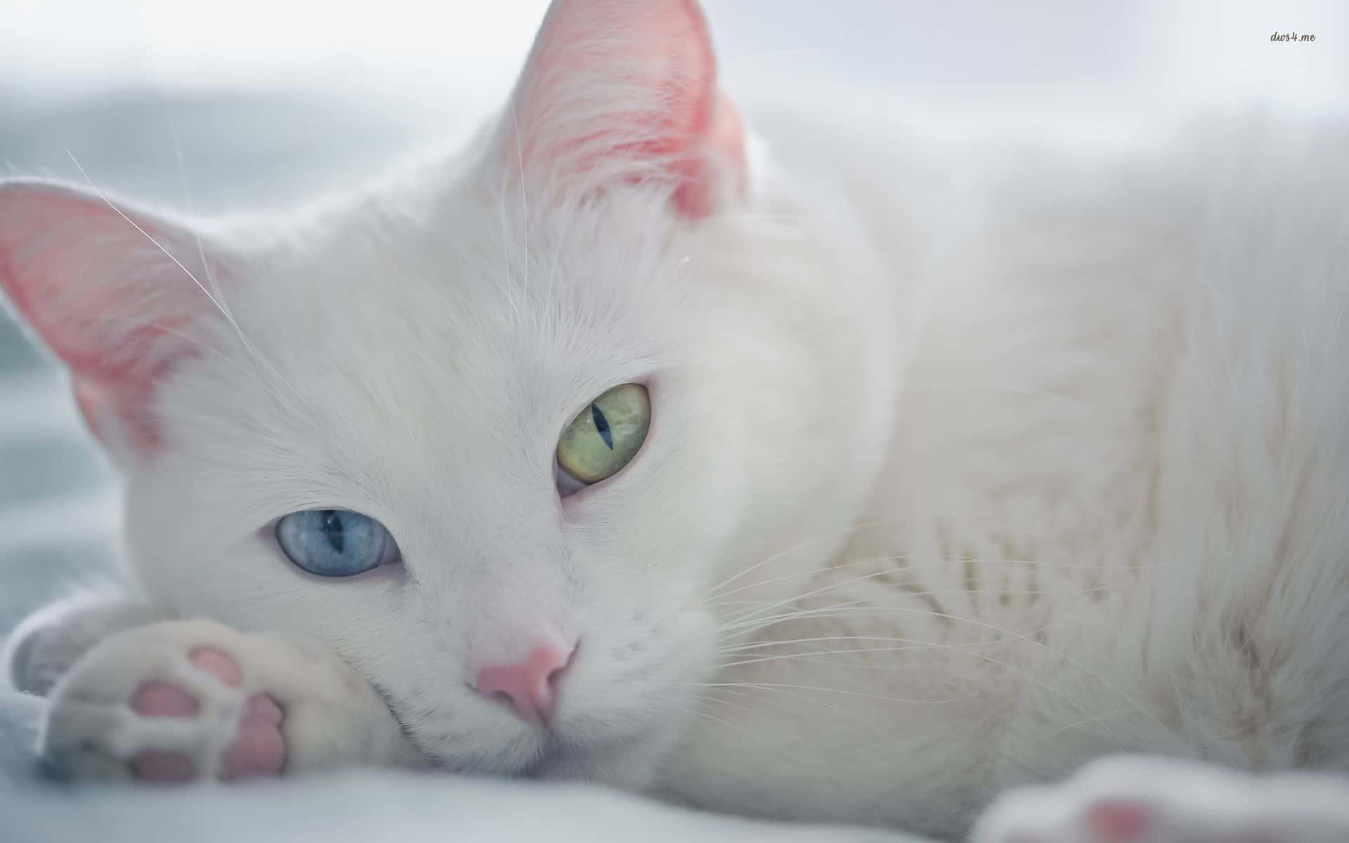 Чёрно-белый окрас кошки: магия контрастного узора