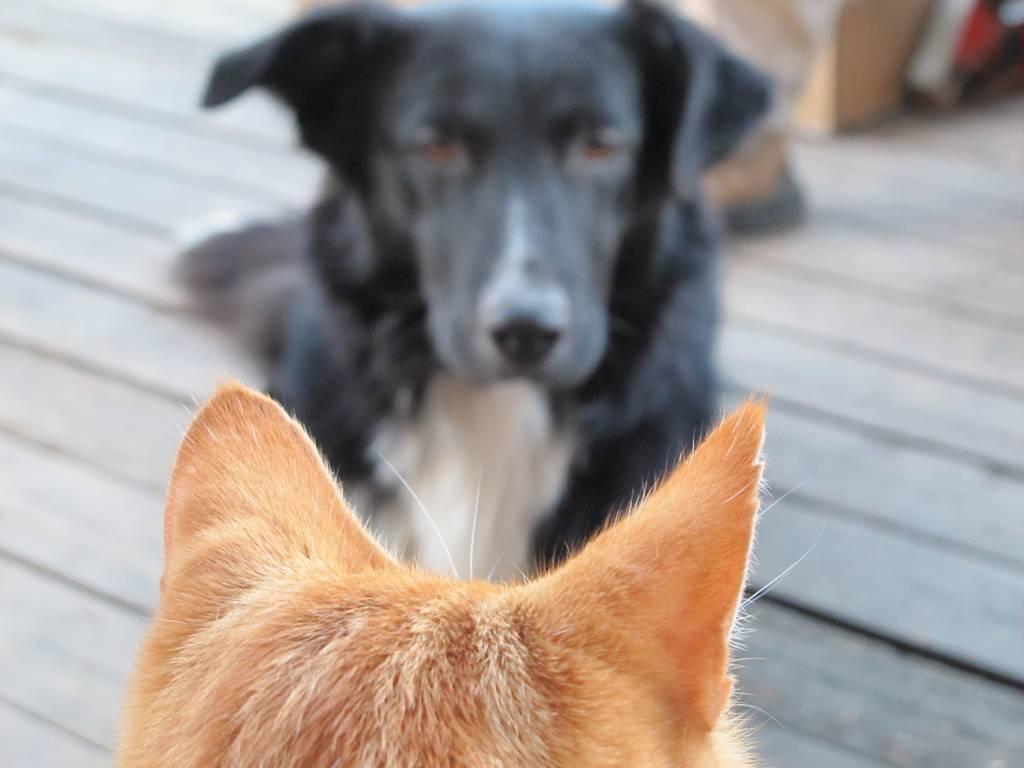 Как подружить кошку с собакой в квартире   кота или котенка