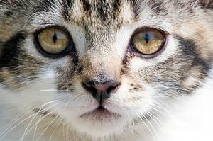 У кошки слезятся глаза: причины. что делать, если у кошки сильно слезятся глаза