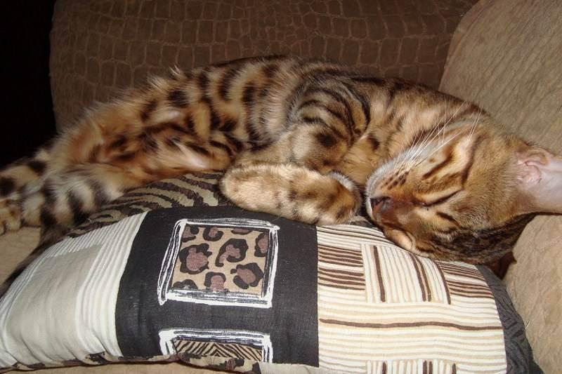 Почему кошка гадит на кровать хозяина: причины, что делать, как отучить котенка писать на постель