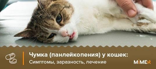 Симптомы и лечение чумки у кошек народными средствами