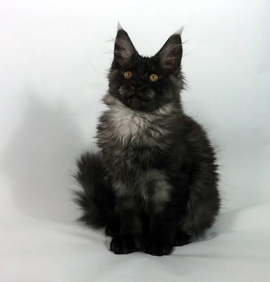 Окрасы шерсти у кошек породы мейн-кун