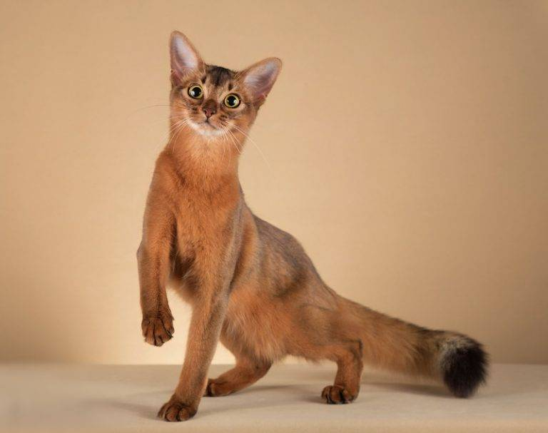 Сомалийская кошка: все о кошке, фото, описание породы, характер, цена