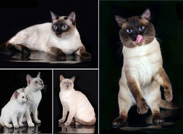 Тайская и сиамская кошка: отличия и сходства, описание, фото