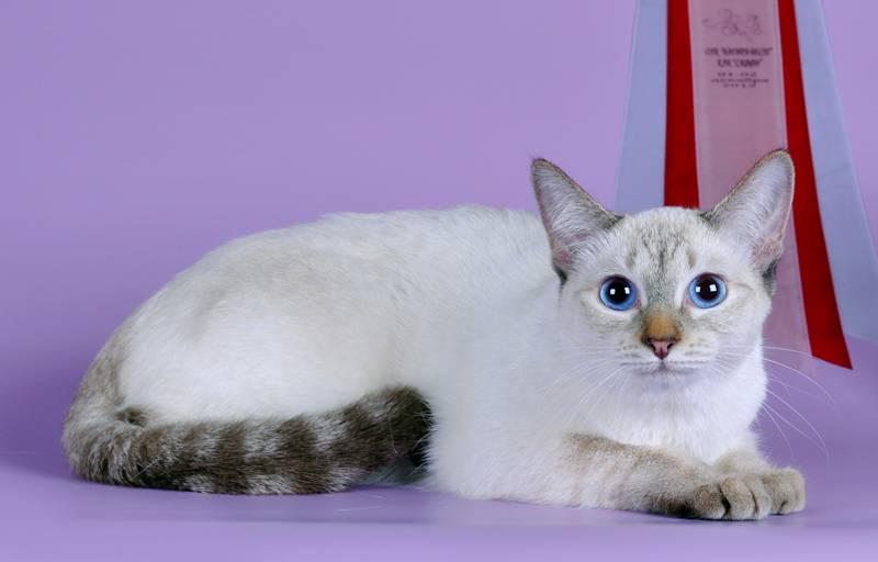Сил пойнт, табби, блю и ред: каким может быть окрас тайской кошки?