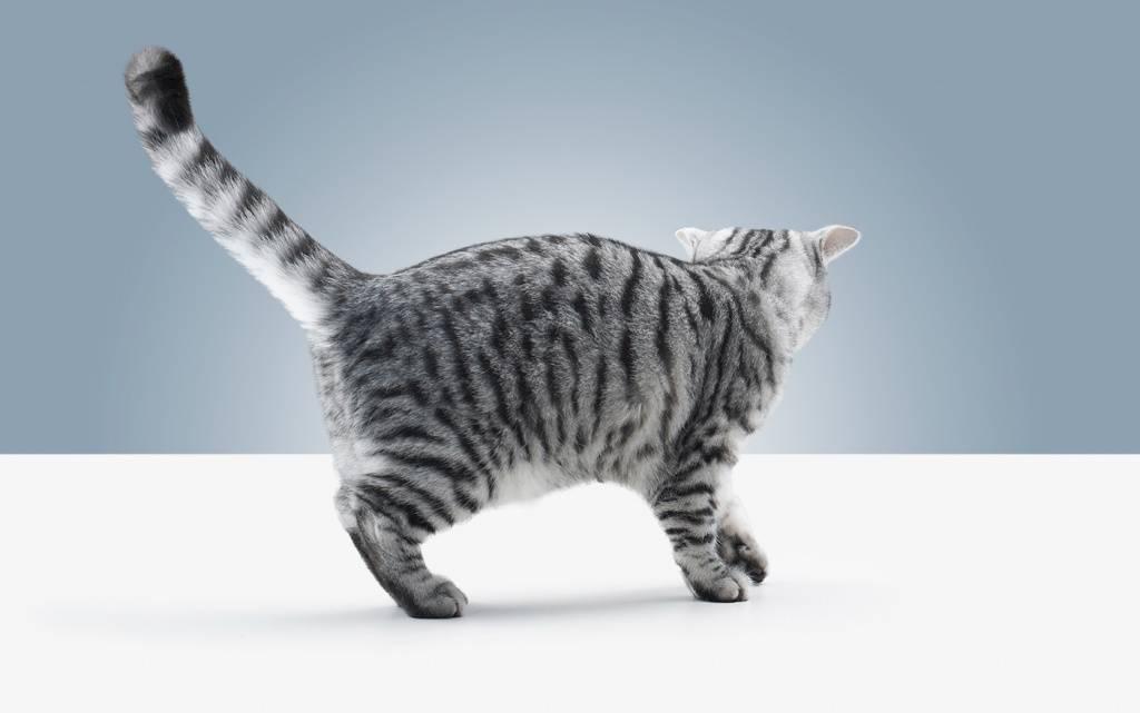 Какой породы кот в рекламе Вискас?