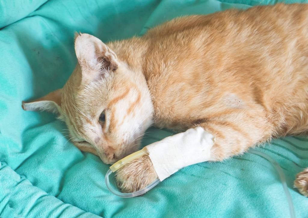 Заболевания печени и желчного пузыря у кошек.