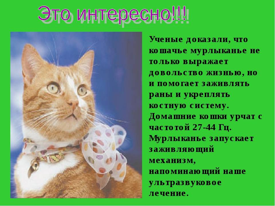 Почему кошка мурлыкает когда ее гладишь. почему кошки мурлыкают