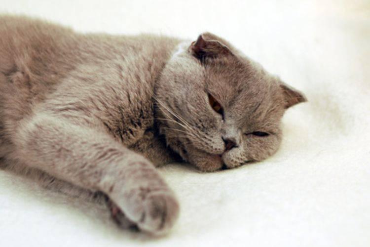 Гастрит у кошек: симптомы и признаки, лечение в клинике и в домашних условиях, виды, чем можно кормить?
