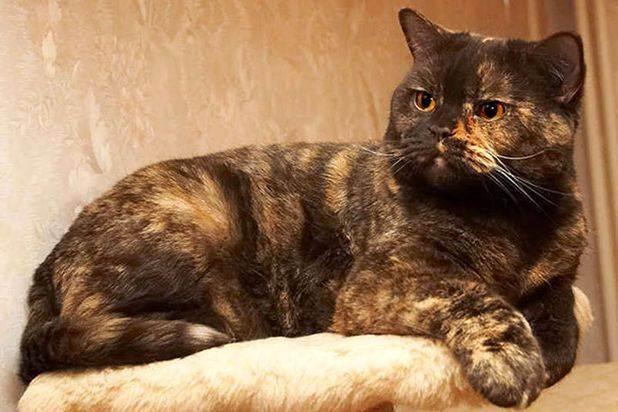 Окрасы британских кошек